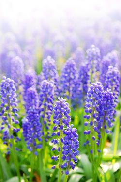 Blue Grape Hyacinths with Soft Focus and Shallow Dof in Spring Garden 'Keukenhof', Holland by dzain