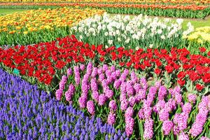 Colorful Flowerbeds with Tulips, Grape Hyacinths, Hyacinths and Daffodils in Spring Garden 'Keukenh by dzain