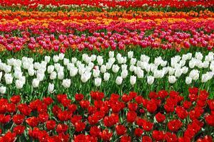 Colorful Pattern of Tulips in Dutch Spring Garden 'Keukenhof' in Holland by dzain