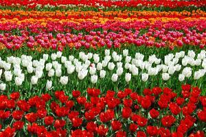 Colorful Pattern of Tulips in Dutch Spring Garden 'Keukenhof' in Holland by dzain