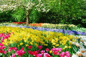 Colorful Springflowers and Blossom in Dutch Spring Garden 'Keukenhof' in Holland by dzain