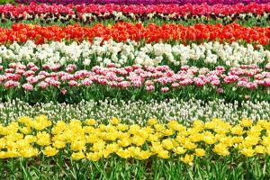 Colorful Strokes of Tulips in Famous Dutch Spring Garden 'Keukenhof' Holland by dzain