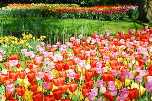 Colorful Tulips in Dutch Spring Garden 'Keukenhof', Holland by dzain