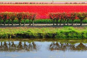 Dutch Red Tulips Fields in Lisse near Spring Garden 'Keukenhof', Holland by dzain