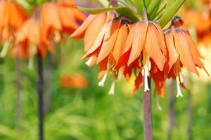 Orange Crown Imperial or Kaiser's Crown (Fritillaria Imperialis) in Spring Garden 'Keukenhof', Holl by dzain