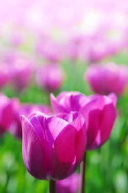 Purple Tulips in Soft Focus in Spring Garden 'Keukenhof', Holland by dzain