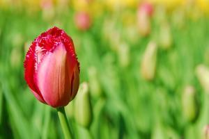 Red Tulip with Soft Focus and Shallow Dof in Spring Garden 'Keukenhof', Holland by dzain
