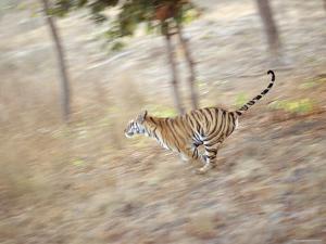 Bengal Tiger Running Through Grass, Bandhavgarh National Park India by E.a. Kuttapan
