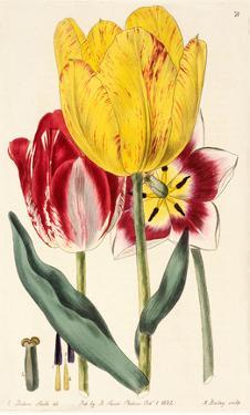 Pubescent-Stalked Tulip (1823 - 1829) by E. Dalton Smith & Robert Sweet