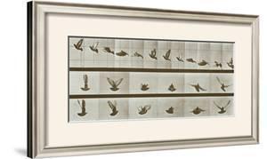 Bird by Eadweard Muybridge