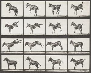 Bucking and Kicking by Eadweard Muybridge