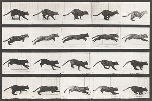 Cat Galloping by Eadweard Muybridge