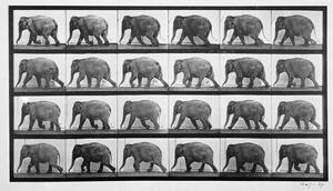 Elephant Walking, Plate 733 from 'Animal Locomotion', 1887 (B/W Photo) by Eadweard Muybridge