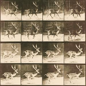 Fallow Deer by Eadweard Muybridge