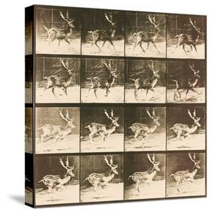 Fallow Deer by Eadweard Muybridge