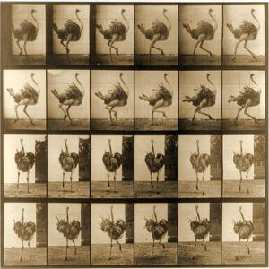 Image Sequence of an Ostrich Running, 'Animal Locomotion' Series, C.1887 by Eadweard Muybridge