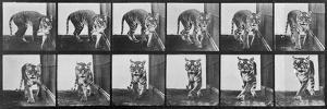 Tiger Pacing, from 'Animal Locomotion', 1887 (B/W Photo) by Eadweard Muybridge