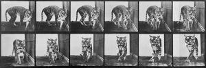 Tiger Pacing, from 'Animal Locomotion', 1887 (B/W Photo) by Eadweard Muybridge