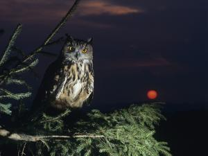 Eagle Owl Perching on Tree Branch