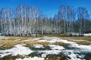 Early Spring Thaw in a Birch Forest in the Moscow Region of Russia.