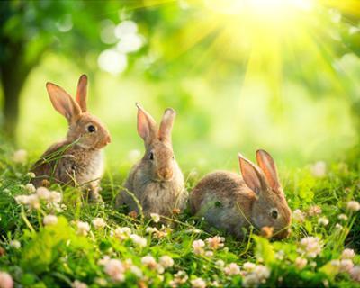 Easter Bunnies in Sunny Meadow