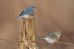 Eastern Bluebird Male and Female in Winter