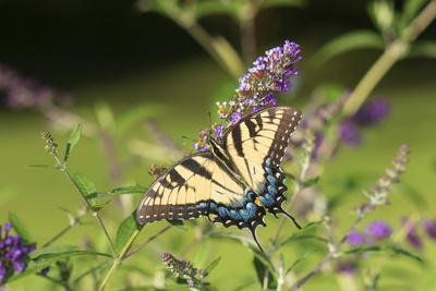 https://imgc.allpostersimages.com/img/posters/eastern-tiger-swallowtail-on-butterfly-bush-illinois_u-L-Q1D0NOB0.jpg?p=0