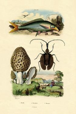 Eatable Morel, 1833-39