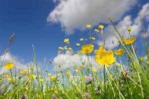 Meadow of Grass and Blooming Summer Buttercups under Blue Sky by Echo