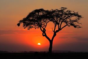 Sunset with Silhouetted African Acacia Tree, Amboseli National Park, Kenya by EcoPrint