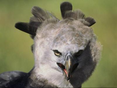 A Harpy Eagle Portrait