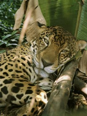 A Jaguar Rests on the Jungle Floor by Ed George