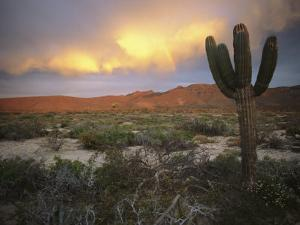 A Lone Cactus in a Desert Scene by Ed George