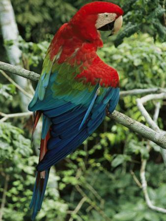 A Scarlet Macaw Sits on a Tree Branch in Venezuela