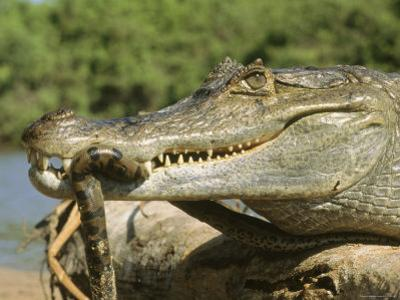 A Spectacled Caiman Eats an Anaconda in Venezuela