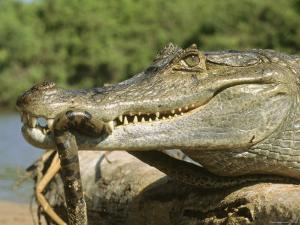 A Spectacled Caiman Eats an Anaconda in Venezuela by Ed George