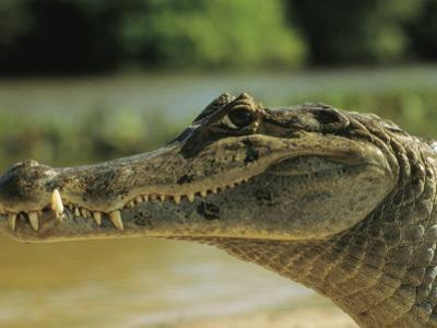 A Spectacled Caiman in Venezuela