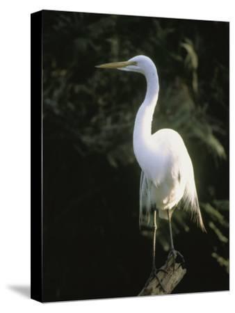 A White Egret Perches on a Tree Stump