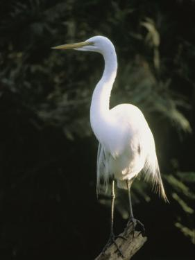 A White Egret Perches on a Tree Stump by Ed George