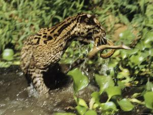 An Ocelot Grabs an Immature Anaconda out of a Stream by Ed George
