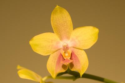 Close Up of a Moth Orchid, Phalaenopsis Species