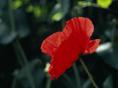Delicate Red Poppy Flower