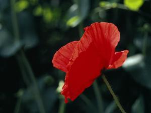 Delicate Red Poppy Flower by Ed George