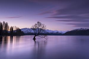 The Wanaka Tree at sunset backed by snow capped mountains, Wanaka, Otago, South Island, New Zealand by Ed Rhodes