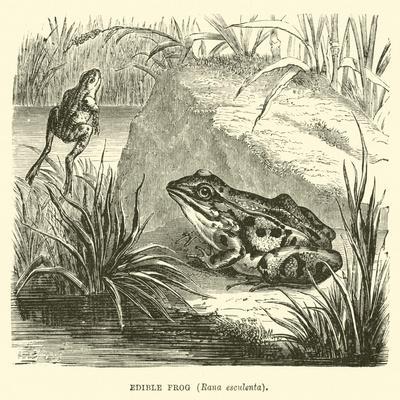 https://imgc.allpostersimages.com/img/posters/edible-frog-rana-esculenta_u-L-PP9RZN0.jpg?p=0
