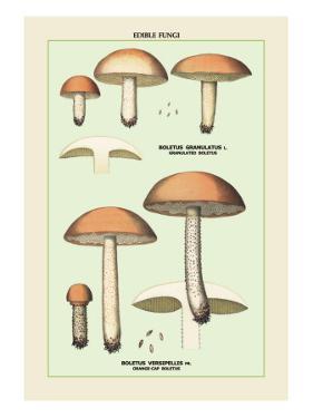 Edible Fungi: Boletus Granulatus and Versipellis