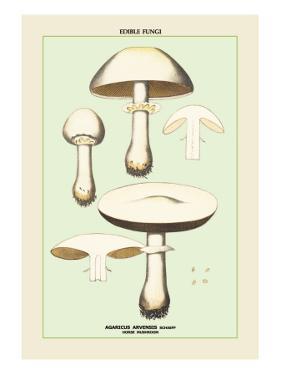 Edible Fungi: Horse Mushroom