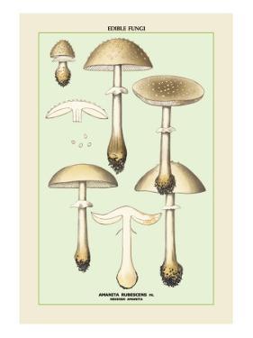 Edible Fungi: Reddish Amanita
