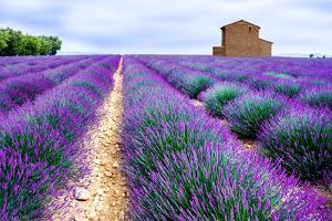 Lavender Field by Edler von Rabenstein