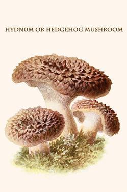 Hydnum or Hedgehog Mushroom by Edmund Michael